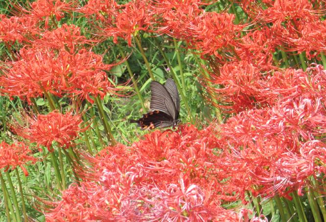 1509_02_彼岸花とクロアゲハ