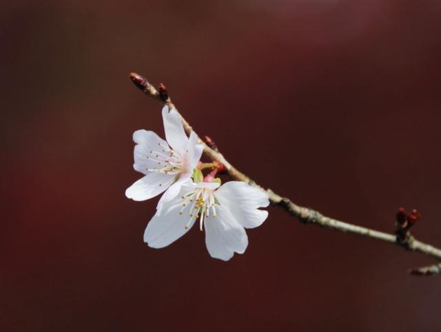 B20151129B_四季桜4_IMG_0779