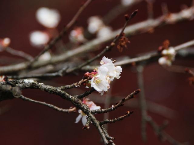 B20151129B_四季桜5_IMG_0780