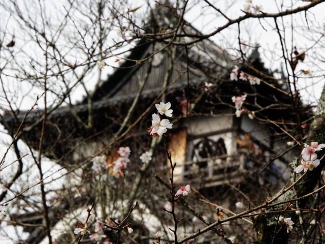 B20151129B_四季桜1_IMG_0802