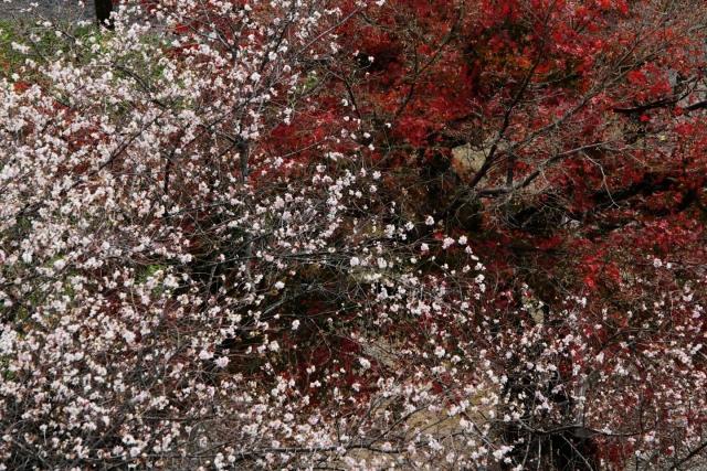 B20151129B_四季桜2_IMG_0842