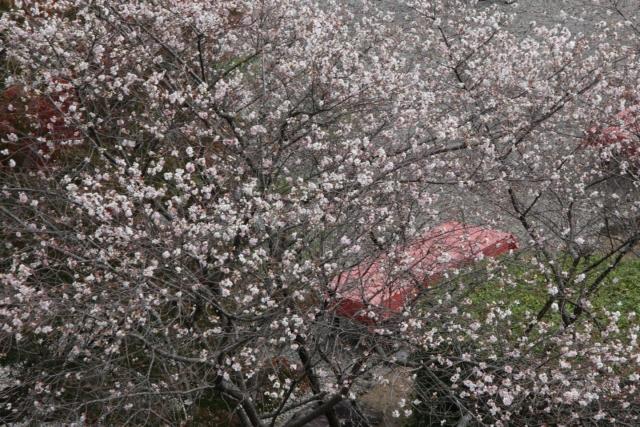 B20151129B_四季桜3_IMG_0839