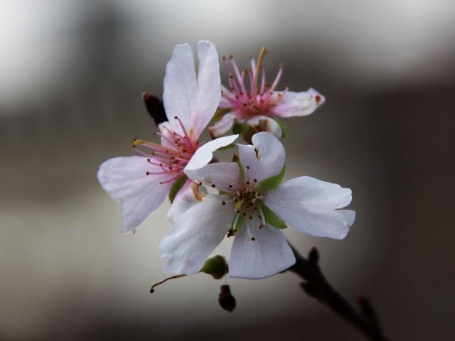 B20151129B_四季桜7_IMG_0797