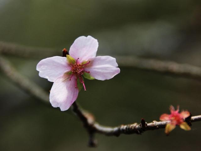 B20151129B_四季桜6_IMG_0778