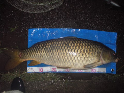 中川 鯉 85cm ネリエサ