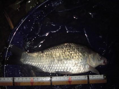 中川 鯉マブ 28cm