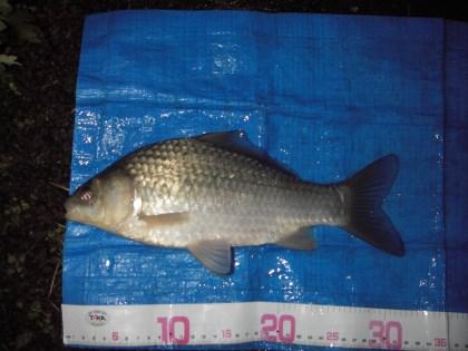 中川 半ベラか鯉ベラ 32cm