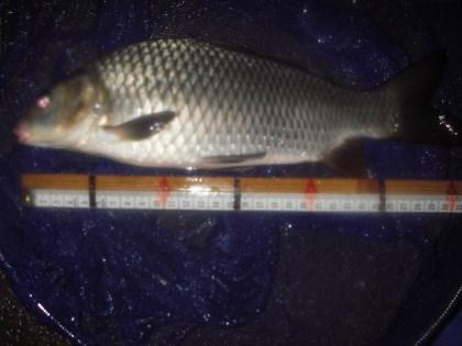 中川 鯉 31cm