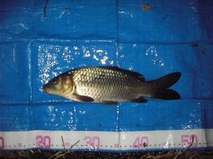 中川 鯉 28cm