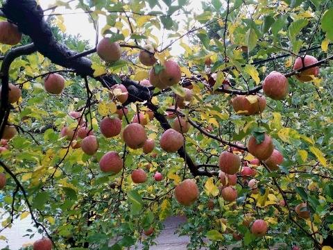 能登島のりんご園