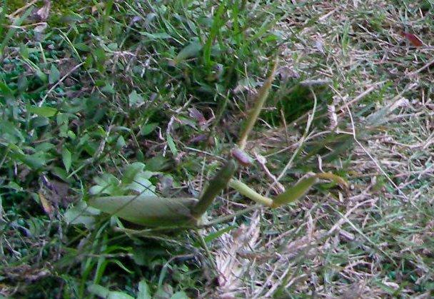 201511161440カマキリ葉菜④-1