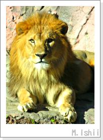 絶滅の危機に瀕するライオン