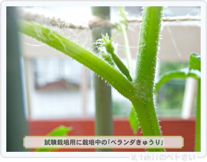 試作用ベランダきゅうり04