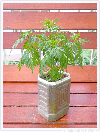 試験栽培用黄花コスモス01