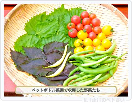 ペトさい収穫01