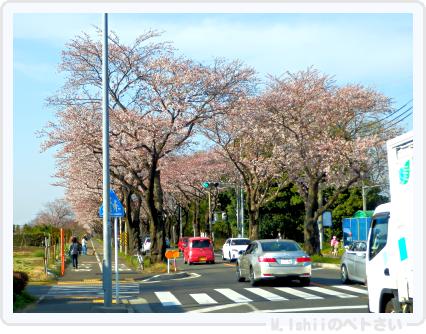HAMA桜2015_01