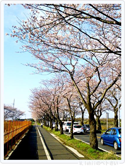 HAMA桜2015_02
