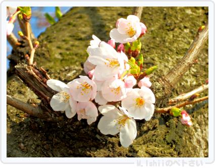 HAMA桜2015_04