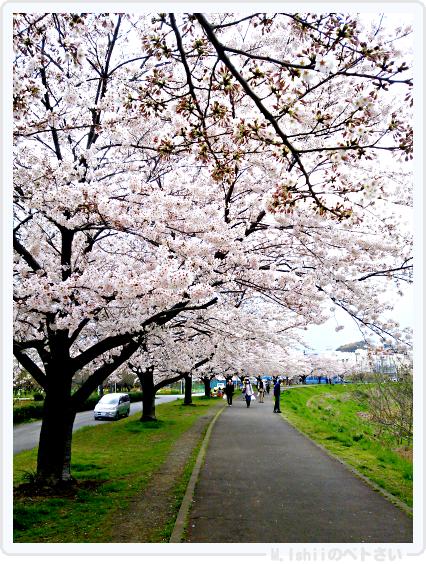 HAMA桜2015改01