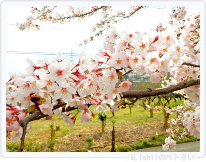 HAMA桜2015改03