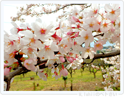 HAMA桜2015改04
