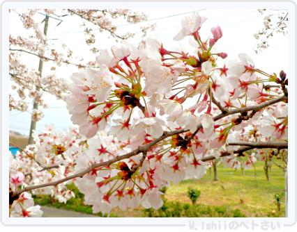 HAMA桜2015改05