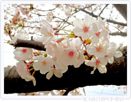 HAMA桜2015改06