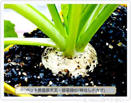 ペット野菜四天王02