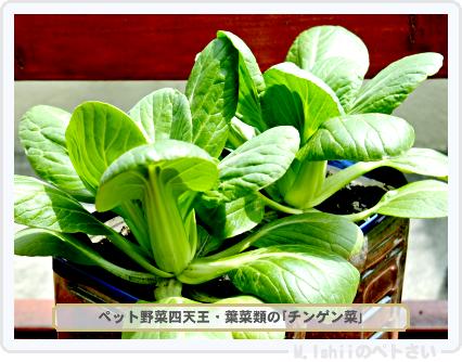 ペット野菜四天王03