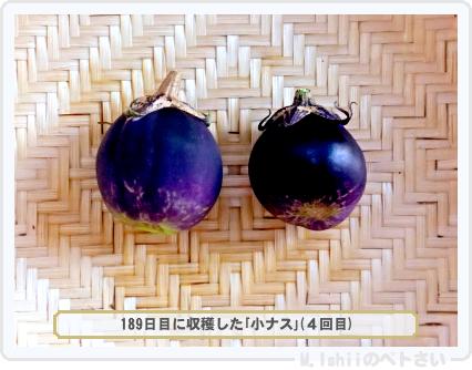 小ナス栽培03
