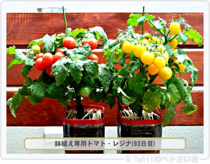 鉢植え専用トマト01