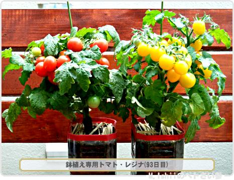 鉢植え専用トマト02