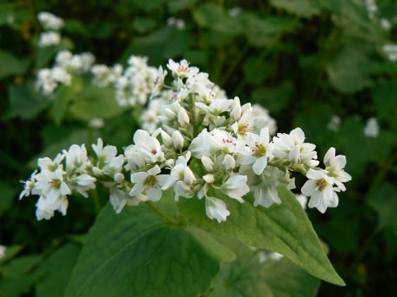 0810ソバの花1