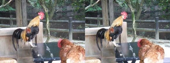 石上神宮 鶏③(平行法)