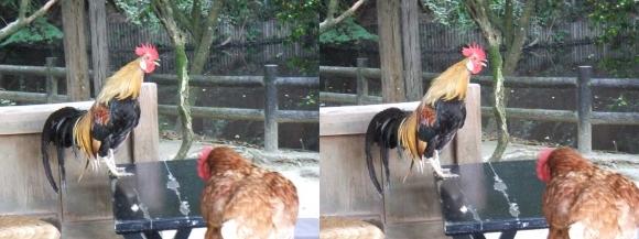 石上神宮 鶏③(交差法)