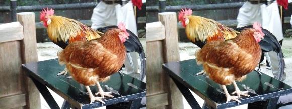 石上神宮 鶏②(平行法)
