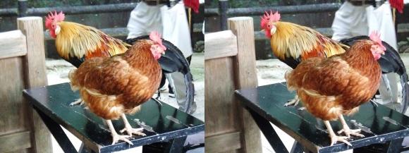 石上神宮 鶏②(交差法)