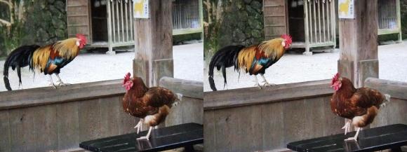 石上神宮 鶏①(交差法)
