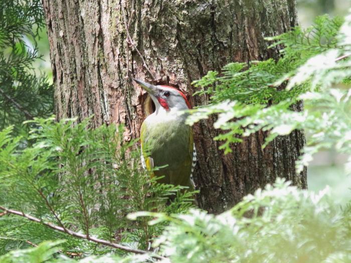 0C6A0241アオゲラ巣穴廻りを警戒