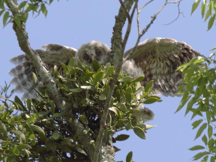 0C6A8876フクロウ雛。上の枝に飛び移ったところ