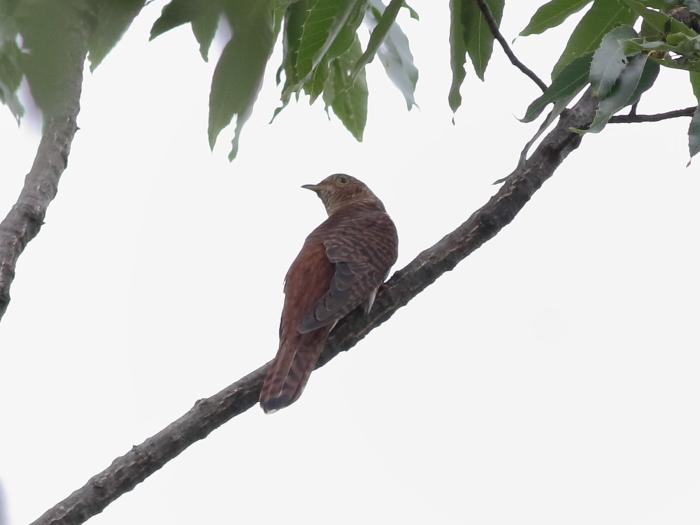 0C6A2987赤色ツツドリ