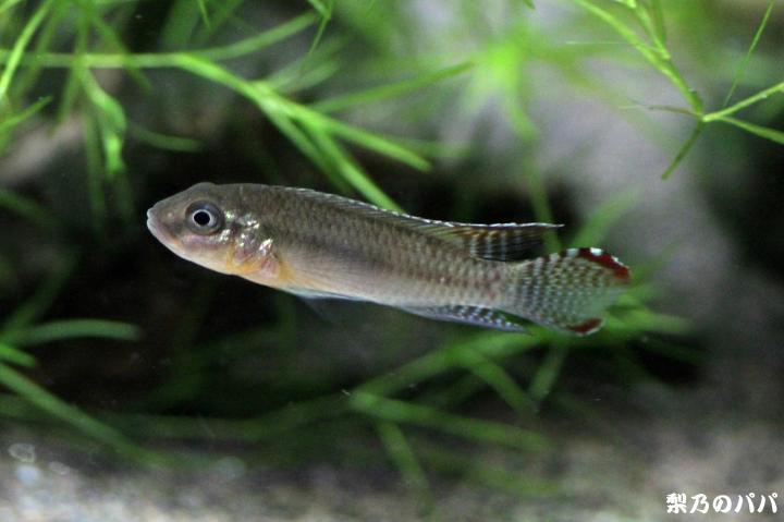 ナノクロミスsp.ムバンダカ♂1
