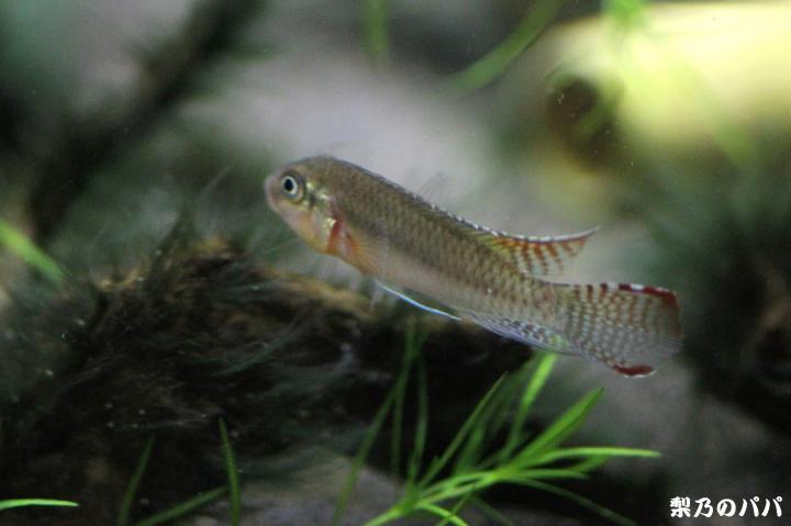 ナノクロミスsp.ムバンダカ♂2