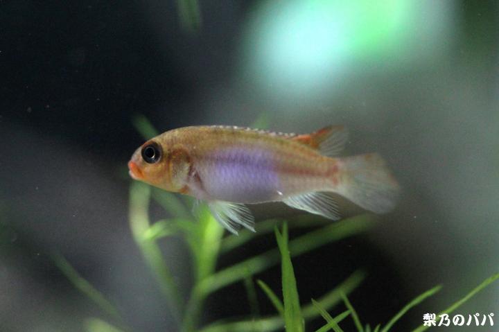 ナノクロミスsp.ムバンダカ♀3