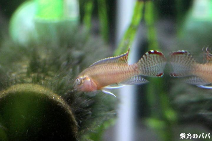 ナノクロミスsp.ムバンダカ♂3