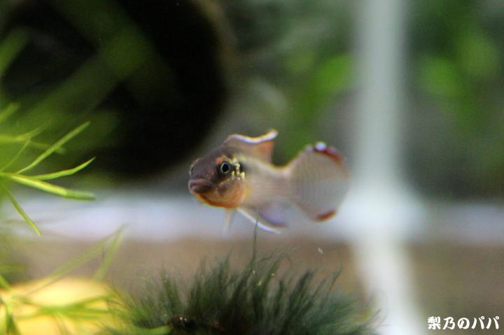 ナノクロミスsp.ムバンダカ♂5