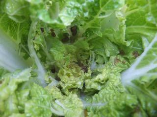 虫食い白菜