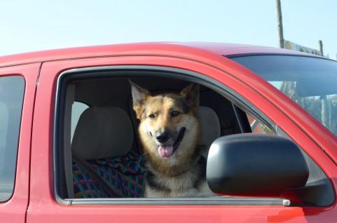 犬と車窓※