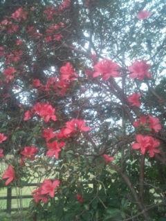 2016 10 5 公園の狂い咲つつじ