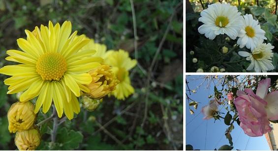 2016 10 26 庭の花たち  ブログ用.jpg
